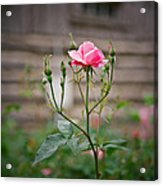 Rose Of Independence Acrylic Print