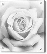 Rose Of Innocence Acrylic Print