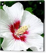 Rose Of Sharon # 1 Acrylic Print