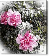 Rose Of Sharon-vintage Warmth Acrylic Print