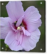 Rose Of Sharon With Bee Acrylic Print