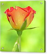 Rose On Green Acrylic Print