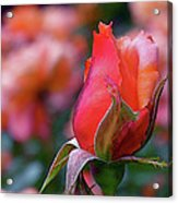 Rose On Rose Acrylic Print