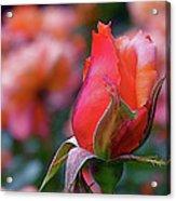 Rose On Rose Acrylic Print