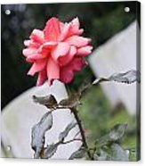 Rose On The Airborne War Cemetery Oosterbeek Netherlands Acrylic Print