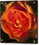 Rose Orange Acrylic Print