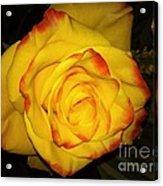 Rose Passion Yellow Impression Acrylic Print