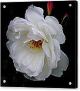 Rose Perfection Acrylic Print