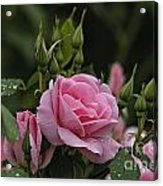 Rose Pictures 328 Acrylic Print