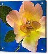 Rose Portrait Acrylic Print