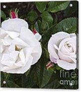 Rose (rosa 'pearl Drift') Acrylic Print