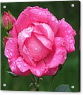 Rose Showers Acrylic Print