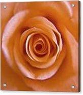 Rose Spiral 2 Acrylic Print by Kim Lagerhem