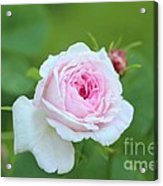 Rose Acrylic Print by Sylvia  Niklasson