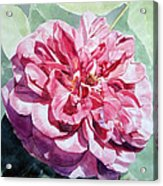 Watercolor Of A Pink Rose In Full Bloom Dedicated To Van Gogh Acrylic Print