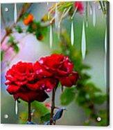 Rose Water Drops Acrylic Print