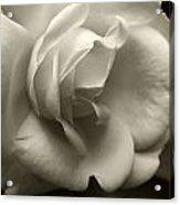 Rose White Acrylic Print