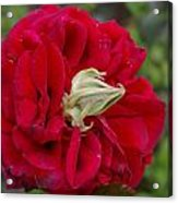 Rose With A Nose Acrylic Print by Christine Burdine
