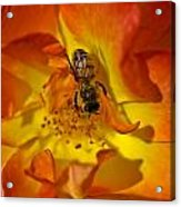 Rose With Bee Acrylic Print