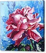 Rose Acrylic Print by Zaira Dzhaubaeva