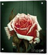 Rose20122 Acrylic Print