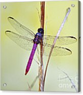 Roseate Skimmer Dragonfly Acrylic Print by Al Powell Photography USA
