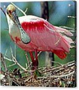 Roseate Spoonbill Adult In Breeding Acrylic Print