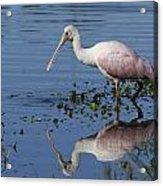 Roseate Spoonbill Hunting Acrylic Print
