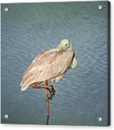 Roseate Spoonbill Acrylic Print