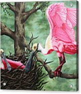 Roseate Spoonbill Nesters  Acrylic Print