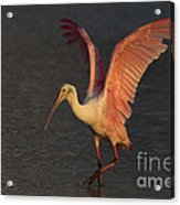 Roseate Spoonbill Photograph Acrylic Print