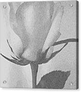 Rosebud Sketch No 1 Acrylic Print