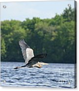 Roseland Lake Great Blue Heron Fly By  Acrylic Print