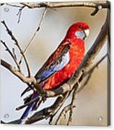 Crimson Rosella 1 - Australia Acrylic Print