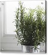 Rosemary In Metal Pot Acrylic Print