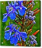 Rosemary In Park Sierra Near Coarsegold-california  Acrylic Print