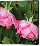Roses After The Shower Acrylic Print