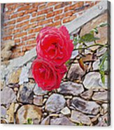 Roses Against The Wall Acrylic Print
