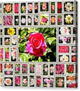 Roses Collage 2 - Painted Acrylic Print by Stefano Senise