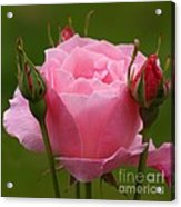 Roses Forever Acrylic Print