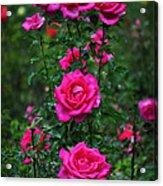 Roses In The Garden Acrylic Print