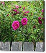 Roses On A Fence Acrylic Print