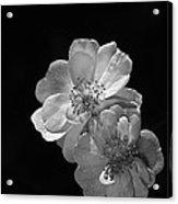 Roses On Black Acrylic Print