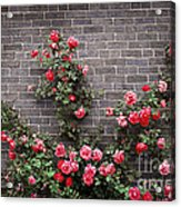Roses On Brick Wall Acrylic Print by Elena Elisseeva