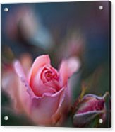 Roses Scented Dream Acrylic Print by Mike Reid