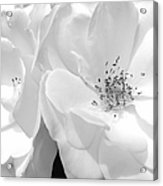 Roses Soft Petals In Black And White Acrylic Print