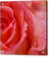Roslyn's Rose Acrylic Print