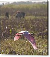 Rosy In The Field Acrylic Print