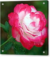 Rosy Reds And Whites Acrylic Print