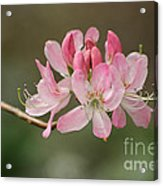 Rosy Rhododendron Acrylic Print